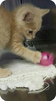 Domestic Shorthair Kitten for adoption in Sauk Rapids, Minnesota - Grace