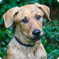 Adopt A Pet :: *TygerLilly - PENDING - Westport, CT