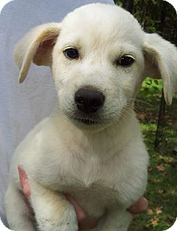 Alaskan Malamute/Great Pyrenees Mix Puppy for adoption in SOUTHINGTON, Connecticut - Jack
