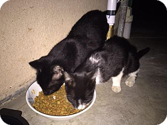 Domestic Shorthair Kitten for adoption in Yucaipa, California - Blacky