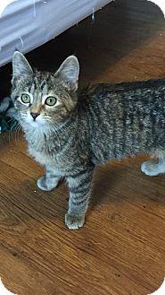 Domestic Shorthair Kitten for adoption in Des Moines, Iowa - Delta