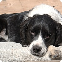 Adopt A Pet :: Luci - Howell, MI
