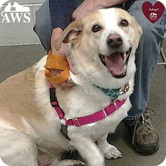 Beagle/Labrador Retriever Mix Dog for adoption in West Kennebunk, Maine - Goober