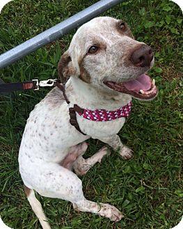 Pit Bull Terrier/Basset Hound Mix Dog for adoption in Hendersonville, North Carolina - Ralphy