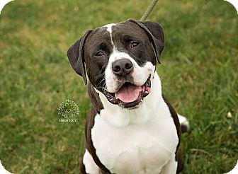 Labrador Retriever/American Pit Bull Terrier Mix Dog for adoption in Zanesville, Ohio - Gus - ADOPTED!