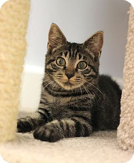 Domestic Shorthair Kitten for adoption in Carlisle, Pennsylvania - Jeremiah