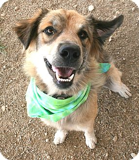 Collie Mix Dog for adoption in Pilot Point, Texas - GILLY