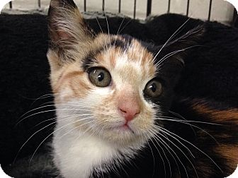 Calico Kitten for adoption in River Edge, New Jersey - Maize