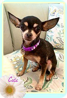 Chihuahua Mix Dog for adoption in Seattle, Washington - CiCi