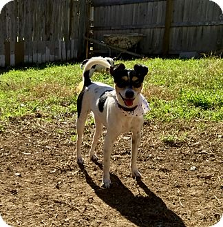 Rat Terrier Mix Dog for adoption in San Antonio, Texas - Cupcake