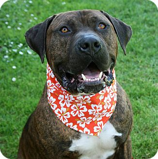 Mastiff Mix Dog for adoption in Lompoc, California - Max