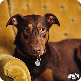 Doberman Pinscher Dog for adoption in Portland, Oregon - Happy