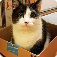 Domestic Shorthair Cat for adoption in Harrisonburg, Virginia - Arlo