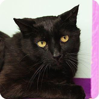 Domestic Shorthair Cat for adoption in Brimfield, Massachusetts - Dos -$10