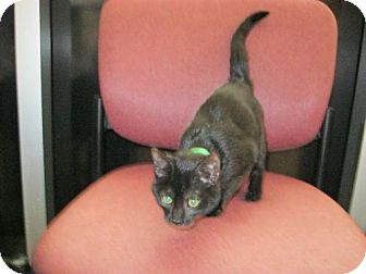 Domestic Shorthair Kitten for adoption in Holland, Michigan - Tres