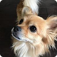 Adopt A Pet :: Chase - Pom Chi Mix Boy - Seattle, WA