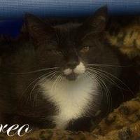 Adopt A Pet :: Oreo - Middleburg, FL