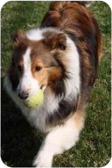 Sheltie, Shetland Sheepdog Dog for adoption in Indiana, Indiana - Pete