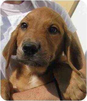Basset Hound Mix Puppy for adoption in Chapel Hill, North Carolina - Jellybean