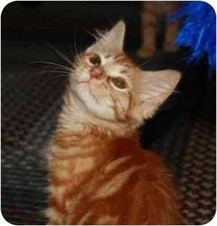 Domestic Shorthair Kitten for adoption in Davis, California - Amber