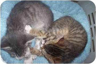 Domestic Shorthair Kitten for adoption in North Charleston, South Carolina - Mr. Grey