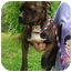 Photo 3 - Boston Terrier Mix Dog for adoption in Londonderry, New Hampshire - Nelson