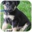 Photo 3 - Collie Mix Puppy for adoption in Mt. Prospect, Illinois - Pretzel