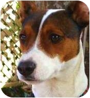 Jack Russell Terrier Mix Dog for adoption in Terra Ceia, Florida - MAX