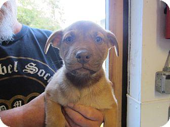 Bernese Mountain Dog/Akita Mix Puppy for adoption in Tillamook, Oregon - Female Puppy 3