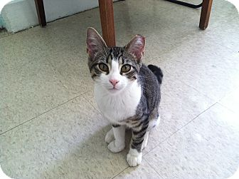 Domestic Shorthair Cat for adoption in Bradenton, Florida - Patrick
