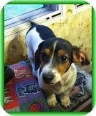 Dachshund Mix Puppy for adoption in Staunton, Virginia - Frank Nemo