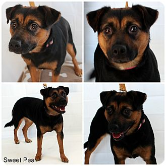 Beagle/Hound (Unknown Type) Mix Dog for adoption in Evansville, Indiana - Sweat Pea