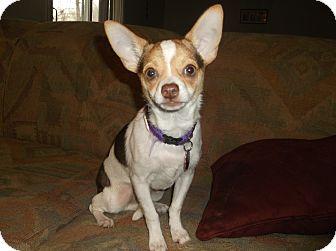 Chihuahua Puppy for adoption in Hampton, Virginia - Milo