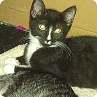 American Shorthair Kitten for adoption in Medford, New York - Sam