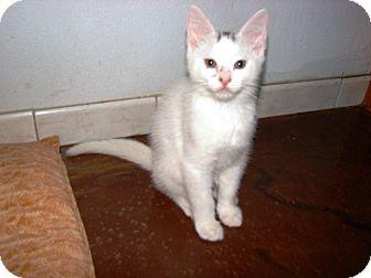 Domestic Shorthair Kitten for adoption in Grand Junction, Colorado - Whitey