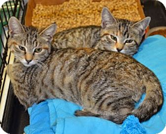 Domestic Shorthair Kitten for adoption in Linden, New Jersey - Pixie and Porsche