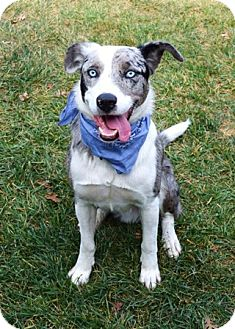 Catahoula Leopard Dog Mix Dog for adoption in Dublin, California - Chewy