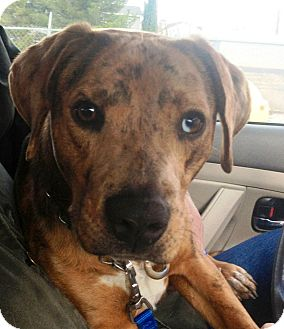 Catahoula Leopard Dog Puppy for adoption in West Los Angeles, California - Cody