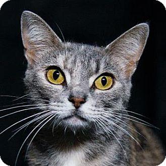 Domestic Shorthair Cat for adoption in Adrian, Michigan - Iris