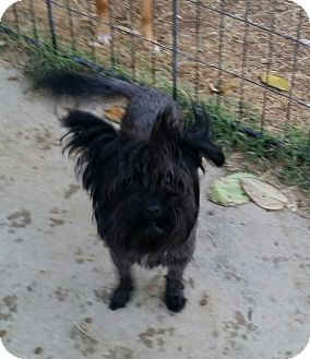 Maltese/Skye Terrier Mix Dog for adoption in Gustine, California - SKIPPY