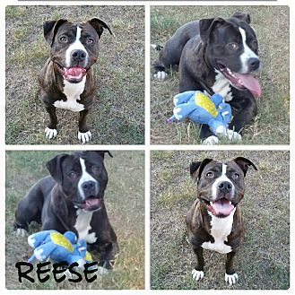 Pit Bull Terrier Mix Dog for adoption in Glastonbury, Connecticut - Reese
