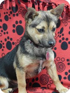 Chihuahua Mix Puppy for adoption in The Dalles, Oregon - Rolo