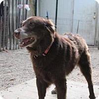 Adopt A Pet :: Topaz - Matawan, NJ