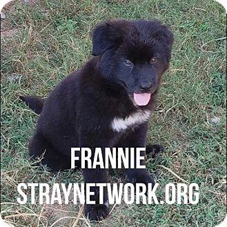 Labrador Retriever Mix Puppy for adoption in Colmar, Pennsylvania - Frannie