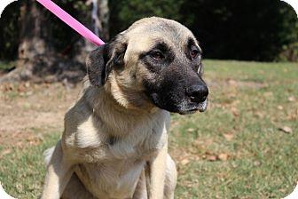 Anatolian Shepherd/Labrador Retriever Mix Dog for adoption in Conway, Arkansas - Lily