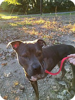 Pit Bull Terrier Mix Dog for adoption in Warsaw, Indiana - Buddy