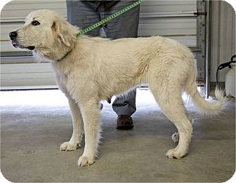Great Pyrenees Dog for adoption in Kyle, Texas - Dana