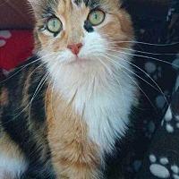 Domestic Shorthair Cat for adoption in Calimesa, California - Callie