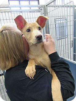 Pharaoh Hound Mix Puppy for adoption in Henderson, North Carolina - Buttercup