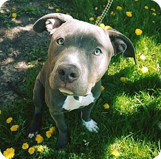 Pit Bull Terrier Mix Dog for adoption in Warrenville, Illinois - Monte
